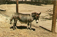 Postcard Miniature Donkey at Zoo, Parke County, IN