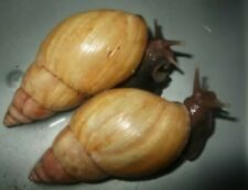 X2 Giant African Land Snails rodatzi 3 month old