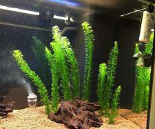 5 steli EGERIA (ex ELODEA DENSA) pianta acquatica antialghe acquario tropicale