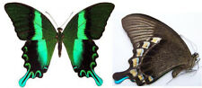 Papilio blumei Butterfly Taxidermy REAL Insect Unmounted