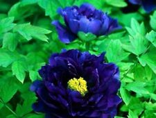 Dark Blue Peony Seeds Rare Ornamental Big Blooms Flowers Strong Fragrant Garden