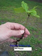 CHEROKEE APPALACHIAN MOUNTAIN GROWN  WHITE OAK TREE (50) STARTER SEEDLINGS