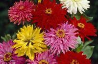 Zinnia- Cactus Flowered Mix- 100 Seeds- BOGO 50% off SALE