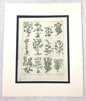 1810 Antico Botanico Stampa Chervil Wild Ciliege Cumino Dei Prati Mano Colorato