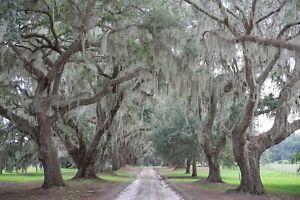Avenue of Oaks, Tree Photography, Charleston SC -Photo Print/ Photo Wood Block