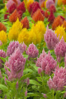 Celosia Extra Dwarf Kewpie Mix Seed Tolerates Frost Great Bedding Plant