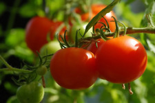 Flordadade Tomato Seeds - 160 Middle-Season Variety