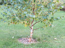 Silver Birch Seed ~ Betula Pendula. 100+ tree seeds. UK sourced, white bark