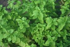 Herb Marjoram 100 Heirloom Seeds NonGmo Very Healthy Fragrant COMBINED SHIPPING