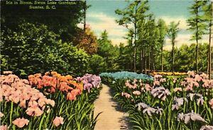 Vintage Postcard - Iris In Bloom Swan Lake Sumter South Carolina SC #5240