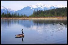 276011 Banff National Park Canada Goose Vermilion Lakes A4 Photo Print