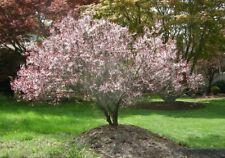 prunus nipponica ruby pot 3 litres arbuste cerisier à fleur du japon