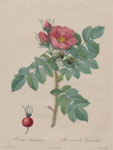 Pierre Joseph Redoute Kamtschatka Rose Giclee Paper Print Poster Reproduction