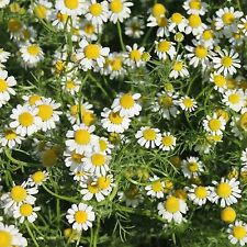 Roman Chamomile 1000 Seeds Anthemis Nobilis Groundcover Edible Aromatic Lawn Usa