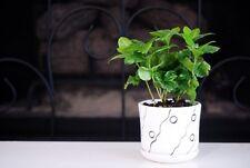 Arabica Coffee Plant Bonsai Fertilizer Live Plant Houseplant Pot 3.5 Indoor New