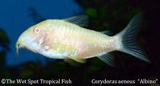 "(10) .75"" Albino Cory TR Corydoras aeneus Live Freshwater Tropical Catfish Easy"
