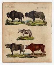 Búfalo-Bison-buey-uros - zebu-animales-grabado de Bertuch 1800