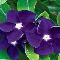 40 Samen VINCA Sonnensturm Lila Immergrün Blume Samen Super W9Q3 S7G5