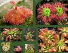 Drosera Seeds Collection (Sundew) - 25 Seeds , 10 different varieties