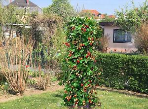 Hingucker Riesen Klettererdbeere - Ideal für Terrasse & Garten-Ertragreich 20+Sa