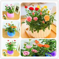 Mini Rose Bonsai Miniature Cute Plants 100 Pcs Seeds Garden Potted Flower NEW X