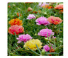 Moss Rose Double Mix - Portulaca grandiflora 100 seeds