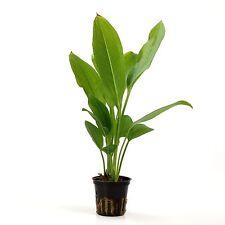 Amazon Sword Pot - Echinodorus Bleheri Easy Live Aquarium Plants BUY2GET1FREE*