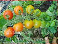🔥 🍅 ANGORA SUPER SWEET 10 Samen Cocktail Tomate Tomaten SEHR SELTEN GESCHENK