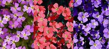 75 Samen Griechisches Blaukissen Mischung Aubrieta deltoides Steingarten