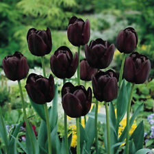100Pcs Black-Purple Tulip Seeds Root Flowers Balcony Perennial Garden Plant
