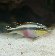 Kribensis Cichlid x 10 Tropical Fish Irish Bred Healthy and Hardy