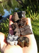 8 Awesome Shorty Horse Teeth Florida Fossil Mammal Tooth