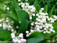2 ROOTS LILY OF THE VALLEY CONVALLARIA GARDEN BULB BEAUTIFU SPRING SUMMER FLOWER
