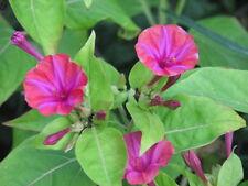 4 o'clock  Tuber Fragrant Night Blooms  Neon Fuchsia Flower  Plant Now!