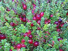 American Cranberry - Vaccinium Macrocarpon - 50 seeds - Healthy Berries