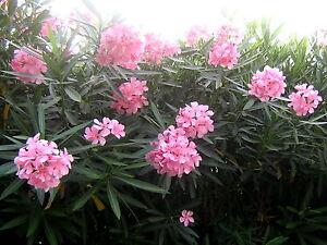 """Pink Oleander """"Nerium Oleander"""" - 3 Fresh Cuttings"""