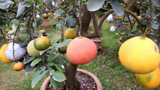 "RARE Dwarf ""Sweet Ruby"" Red Pomelo Fruit Seeds Citrus Grandi 10 Finest seeds"