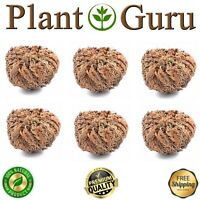 Jericho Flower - 6 Pack - Rose of Jericho, Resurrection Flower, Whole Dried Herb