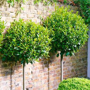 2 x Laurus nobilis Garden Shrubs   Evergreen Hardy Flowering Bay Laurel Plants