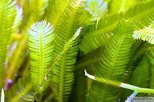 Caulerpa taxifolia - Alge Meerwasser Kriechsprossalge Meeresalge Algenrefugium