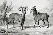 Sardinien Wildschaf Mufflon Il mouflone Sardegna Caprini 1832 Mouflon de Corse