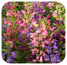 Penstemon Barbatus Rondo Mixed Large Perennial Plug Plants x 6