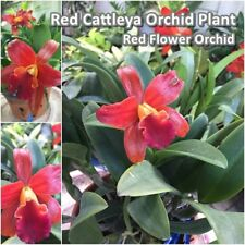 Red Cattleya Orchid Plant 'Ctna.Why Not x Schom.undulata' Booming size Orchid