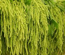 Amaranthus Love Lies Bleeding Green Amaranthus Caudatus - 100 Seeds