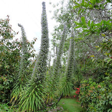 3 Tree Echium pininana White Tower plugs Bee Butterfly Beneficial insect plant