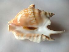 Strombus taurus kwajalein shell seashell giant -gem 112mm