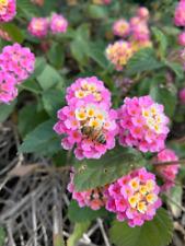 50+ Pink Lantana Bush Seeds Free Shipping | Butterfly Garden