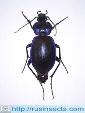 Carabidae, Carabinae, Carabus Carabus (Tanaocarabus) sylvosus USA