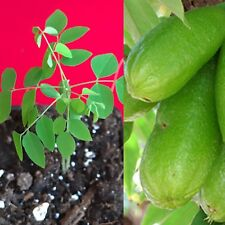 Bilimbi Averrhoa Seedling Cucumber Tree Sorrel Potted Plant