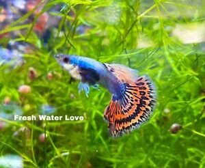 1 TRIO - Live Guppy Fish High Quality - Dumbo Mosaic Halfmoon 1M/2F
